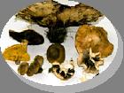 Consumo de Cogumelos Silvestres