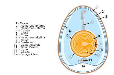 Figura 1: Componentes do ovo (Fonte: http://mimvet.blogspot.pt/2015/07/is-ii-ovos.html)