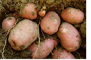 Batata para consumo humano e batata-semente